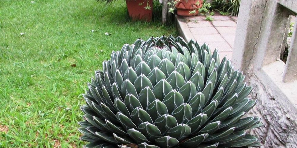 http://www.accommodationvryheid.com/wp-content/uploads/2016/12/agave.jpg
